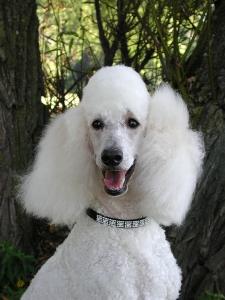 bigstock_Standard_Poodle_Portrait_151461