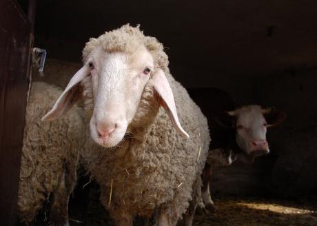 bigstock_Sheep_And_Cow_3197770