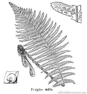 male-fern