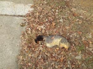 dead possum
