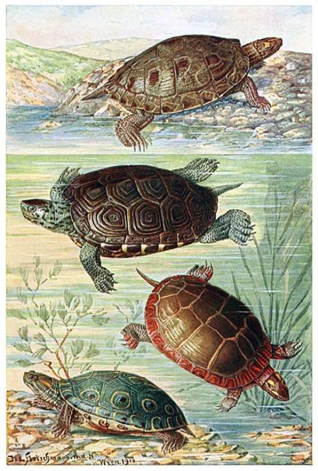 american-water-turtles
